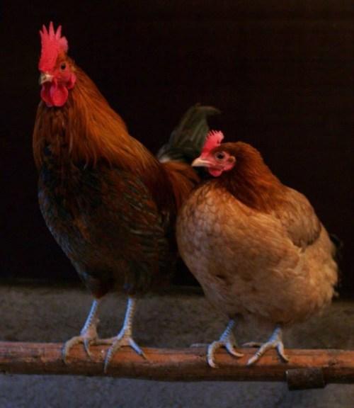 el-pollo-vestido